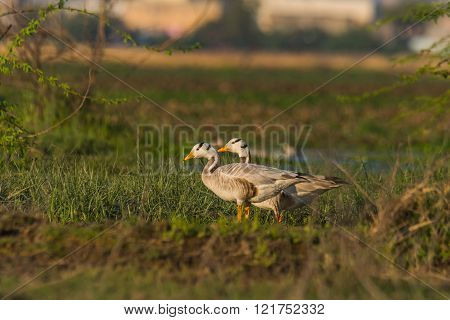 Bar headed geese