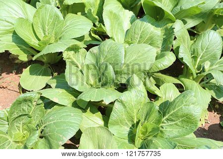 green sapling of vegetables in the gardenChinese cabbage or Bok Choy was one month.