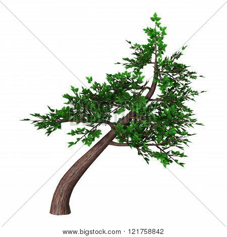 Bonsai Tree On White