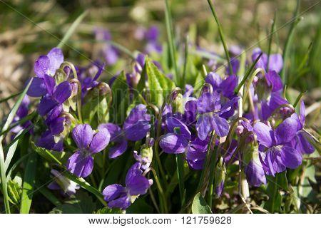 Crimea Spring Purple Flowers
