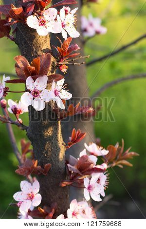 Spring inflorescence on the branches of a tree with few young leaves on a green background in the light of the sun at sunset. Close-up background is blurred.