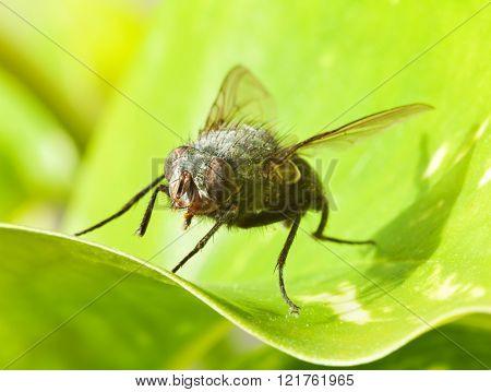 Large Fly On Green Leaf
