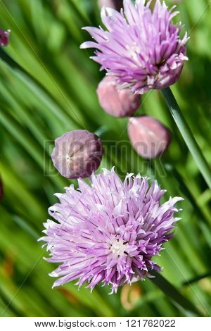 Chives Blossoming In Late Spring