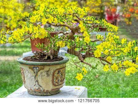 Apricot bonsai potted trees are blooming