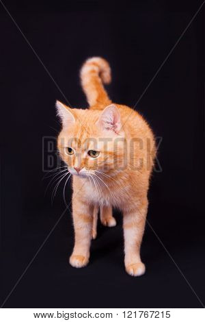 Red Cat In Studio On A Black Background