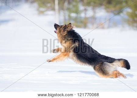 German shepherd dog long-haired jumping winter outdoor