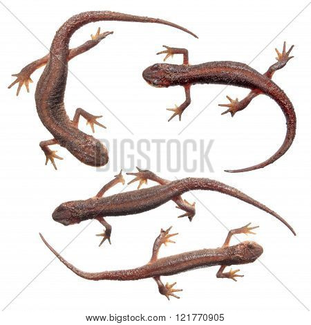 Common Newts Isolated On White