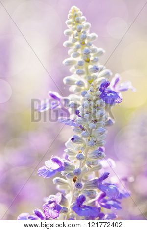 Close up - blue salvia flowers in the garden over blurred nature background. Beautiful natural floral use as background.