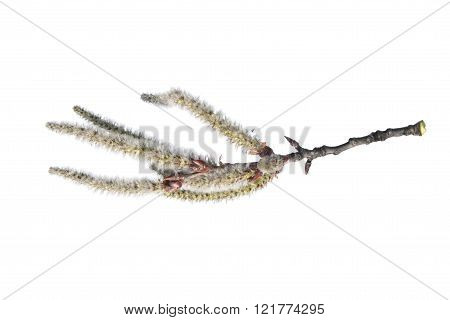 Branch of common aspen with catkins isolated on white
