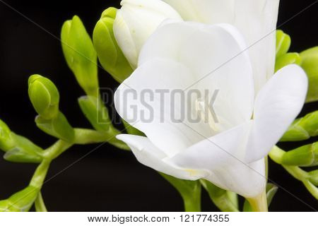 Freesia flowers and buds