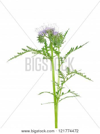 Blooming scorpion weed isolated over white background