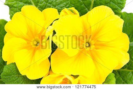 Blossoming Yellow Primrose