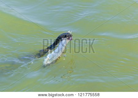 snake catches a fish in the water