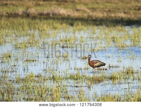 Glossy Ibis In Flooded Field