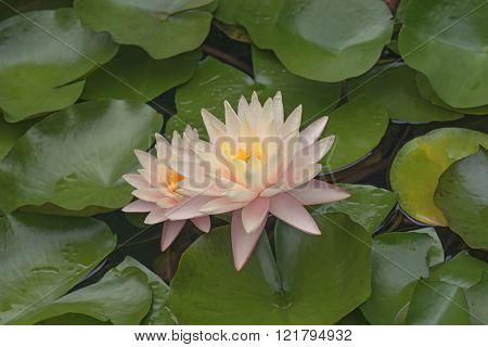 Hybrid Water Lily (nymphaea X Hybrid)