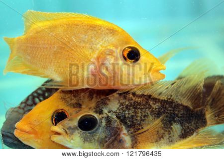 Yellow and black cichlids. Freshwater aquarium fishes