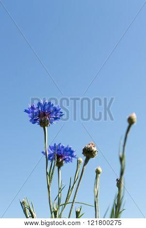 Cornflowers bush in the field bottom view