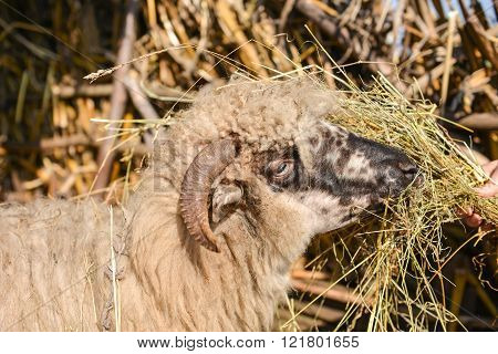 Young Woman Feeding A Sheep With Hay In A Sunny Day Of Spring. The Joy Of Being In The Nature With T