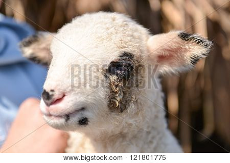 Potrait Of A Cute And Adorable Baby Lamb In The Arms Of A Man