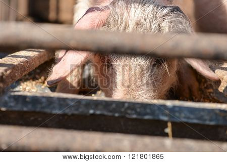 little pig eating in the barn anf looking at you