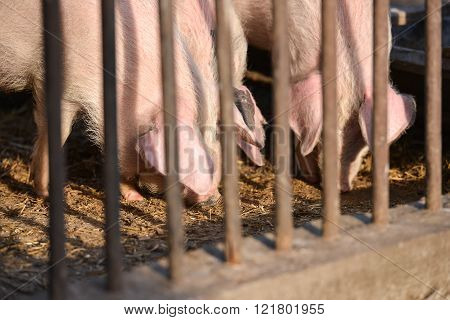 piglets in stable at a farm in a village