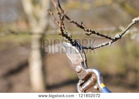 Pruning Of Trees With Secateurs In The Garden. Clean Fruit Trees Of Dead Branches And Useless To Mak