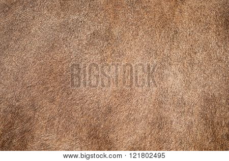 Brown cow fur (skin) background or texture