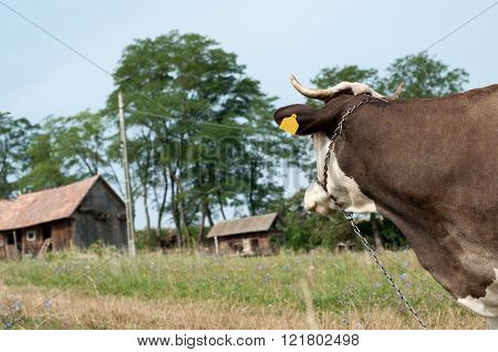 Portrait Of A Black And White Cow Looking On The Farm With Chain On The Neck And Nose
