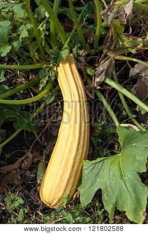 Fresh Marrow (also Known As Courgette) In The Garden, Ready To Be Picked. The Flower Is Also Edible.