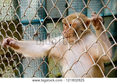Monkey (rhesus macaque) in cage reaching out