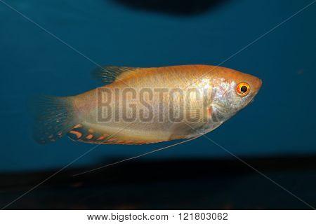 Gold gourami (Trichopodus trichopterus). Freshwater aquarium fish