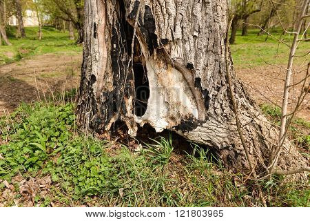 Tree Trunk With A Den Dug In It, Hide Place For Animals In The Woods