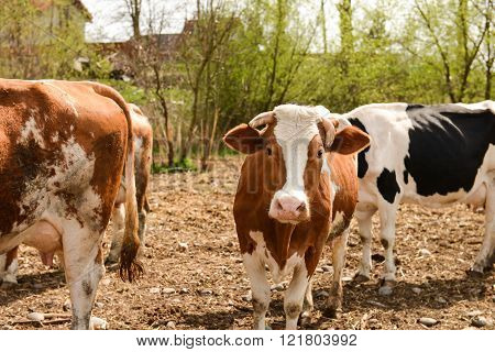 Herd Of Cows On A Pasture In The Spring