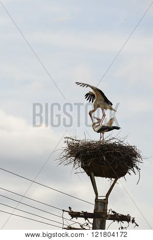 Pair Of Two White Storks In The Nest On A Lamppost