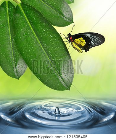 Dewy leaves of Ficus elastica and butterfly above the water level