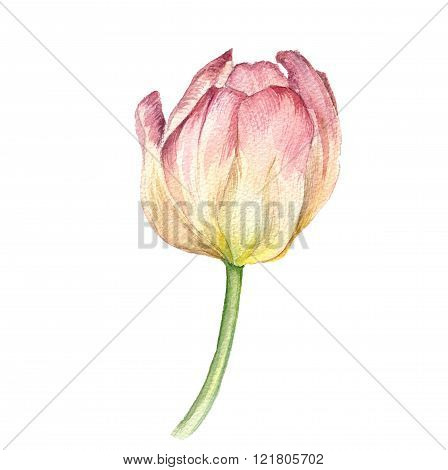 watercolor pink tulip