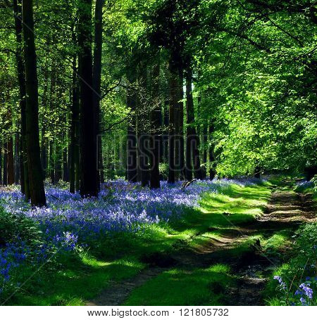 a track that runs through a bluebell wood near the village of Langley in Hertfordshire, England