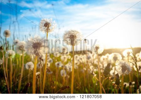 Dandelion on the meadow at sunlight