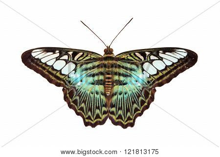Clipper (Parthenos sylvia apicalis): Tropical Nymphalidae live butterfly on white background