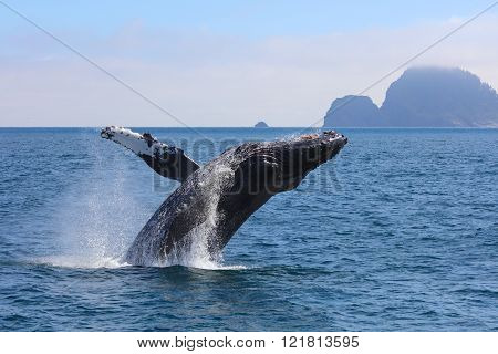 Humpback Whale Breaching from Pacific Ocean in Kenai Fjords National Park Alaska with mountain island in background