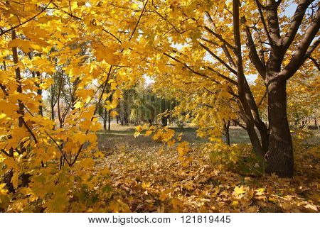 Autumn. Yellow leaves on trees