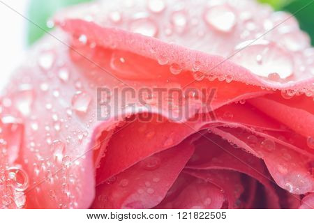 Close Up Of Fresh Rose With Water Drop, Selective Focus
