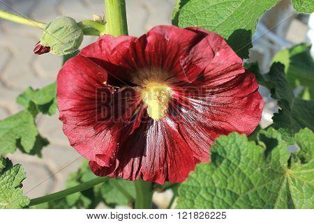Mallow, stem-rose mallow - flower garden burgundy