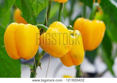 Yellow bell pepper (sweet pepper) on the pepper tree