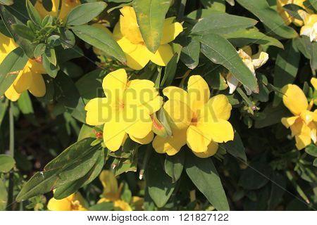 Yellow Jasmine Gelsemium sempervirens flowers winding bush