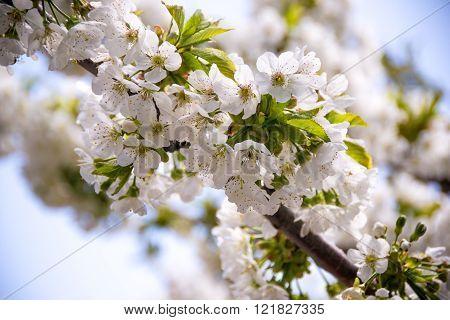 Blossom branch tree