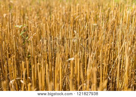 Stubble harvested wheat field close summer time
