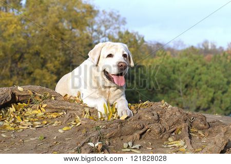 Nice Yellow Labrador In The Park In Autumn