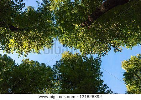 Summer garden trees in St. Petersburg, Russia.