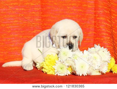 A Nice Labrador Puppy On An Orange Background